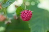 Raspberry Farm, Niagara, Ontario