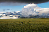 Storm Clouds Over A Grain Field During The Summer In Central Alberta