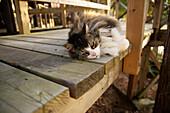 Sleepy Cat Resting On A Sundeck, Mattawa, Ontario, Canada