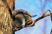 Eastern Gray Squirrel, Montreal Botanical Garden, Quebec