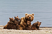 A Brown Bear Sow Rests With 4 Of Her Spring Cubs On The Beach Of Naknek Lake, Brooks Camp, Katmai National Park, Southwest, Alaska, Summer