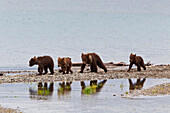 Four Spring Brown Bear Cubs Walk Along The Spit While Their Reflections Are Caught In A Pool, Brooks Camp, Katmai National Park, Southwest, Alaska, Summer