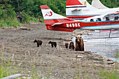 A Brown Bear Sow, Nicknamed Milkshake, Leads Her Four Spring Cubs Down The Beach Of Naknek Lake, Past Docked Float Planes, While People In The Float Planes Photograph, Brooks Camp, Katmai National Park, Southwest, Alaska, Summer