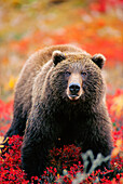 Grizzly Bear In Blueberry Patch Denali Natl Park Alaska Fall Interior Eye Contact