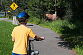 A Young Boy Stops For A Browsing Moose On The Bike Trails On The University Of Alaska Anchorage Campus, Southcentral Alaska, Summer