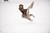 Barred Owl Swoops Down To Catch A Mouse On Top Of The Snow, Ontario, Canada, Winter