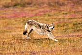 Gray Wolf Stretches While Standing On Fall Tundra Denali National Park Alaska