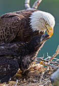 'Adult bald eagle feeding its young chicks a fish; Whitehorse, Yukon, Canada'
