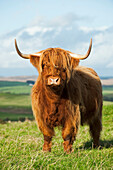 Livestock - Highland beef cow on a green pasture / Scotland, United Kingdom.