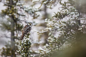 'Northern Hawk-Owl (Surnia ulula) perched in the boreal forest of Alaska's arctic; Alaska, United States of America'