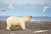 'Polar bear (ursus maritimus) on the shores of a barrier island in the Beaufort Sea off the coast of Alaska's arctic shore; Alaska, United States of America'