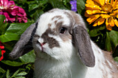 Livestock - Closeup of a Holland Lop rabbit with flowers in the background / Torrington, Connecticut, USA.