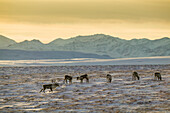 'Caribou on the Arctic tundra with the Endicott mountains of the Brooks range in the distance; Alaska, United States of America'