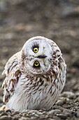 'An inquisitive short-eared owl (Asio flammeus) stares intently while standing on the surface on Alaska's arctic north slope; Alaska, United States of America'