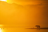 'Brown bear (ursus arctos) along the shore of Naknek lake as the morning sun attempts to burn off the fog over the water, Katmai National Park; Southwest Alaska, United States of America'
