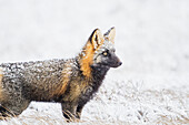 'Cross fox hunts on the snowy tundra of the arctic north slope; Alaska, United States of America'
