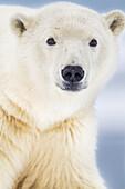 'Polar bear (ursus maritimus) portrait, arctic barrier island in Alaska's Beaufort Sea, Arctic National Wildlife Refuge; Alaska, United States of America'
