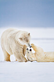 'Polar bear mother and cub play affectionately on the snowy island in the Beaufort Sea; Alaska, United States of America'