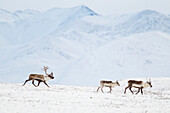 'A herd of caribou (Rangifer tarandus) migrate over the snow covered tundra, Philip Smith mountains of the Brooks range; Alaska, United States of America'