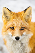 'Red Fox (vulpes vulpes) in Alaska's Arctic, Atigun pass, Brooks range; Alaska, United States of America'