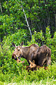 Cow moose and two spring calves forage in the tundra green grasses and willows, Denali National Park, Interior Alaska