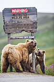 Grizzly bear sow and her cub scratch on a roadside warning sign in Sable Pass, Denali National Park, Interior Alaska