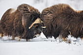 Two bull muskox in dominant behavior on the snow covered tundra of the arctic north slope, Alaska