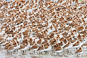 Flock of shorebirds, dominated by Western sandpipers, on the shores of Hartney Bay, Copper River Delta, Prince William Sound, Alaska