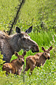 Cow moose and twin calves standing amongst grasses, Arctic, Alaska.