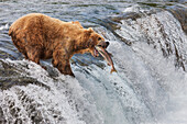 Brown bear fishing for Red salmon on the falls of Brooks river, Katmai National Park, southwest Alaska.