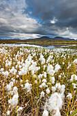 Alaska cotton grass and tundra pond, Alaska range, Interior Alaska.