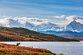 Bull caribou in autumn tundra along the shore of Wonder Lake, Mt. Brooks of the Alaska range in the background, Denali National Park, Interior Alaska.
