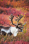 Bull caribou in velvet antlers stands in the colorful autumn tundra in Denali National Park, Interior Alaska