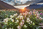 Midnight sunset over dwarf fireweed and elegant paintbrush wildflowers along the Marsh Fork of the Canning river in the Arctic National Wildlife Refuge in the Brooks range mountains, Alaska.
