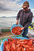 Fisherman holds baskets of live spot shrimp or sometimes called Alaska prawns, recently caught from the waters of Prince William Sound, Southcentral Alaska