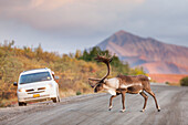 Bull caribou walks across the gravel Denali park road while a photographer takes a picture from his car in the distance, Denali National Park, Interior Alaska