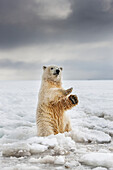 Polar bear cub sits upright on its hind legs along the snowy shore of a barrier island in the Beaufort sea, Alaska.