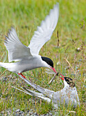 Adult Arctic Tern feeds insect to another Arctic Tern, Alaska