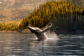 Breaching Humpback whale in Prince William Sound, Southcentral Alaska, Summer