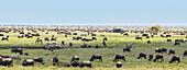 'Panorama of the wildebeest migration, Serengeti National Park; Tanzania'