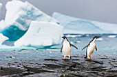 'Adelie penguins (pygoscelis adeliae) walking together on a rock in Shingle Cove, Coronation Island; South Orkney Islands, Antarctica'