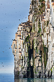 'Birds on the cliffs of Alkefjellet; Svalbard, Norway'