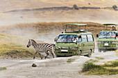 'Zebra crosses the road in the Ngorongoro Crater; Tanzania'