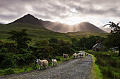 'Sheep walking along a road early in the morning with the rising sun behind the Black Cuillin Ridge; Glen Brittle, Skye, Scotland'