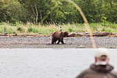 Fisherman fly fishing for Sockeye salmon in the Brooks River as a grizzly bear walks by, Katmai National Park & Preserve, Southwest Alaska, Summer