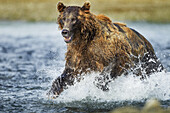 Coastal Brown Bear (Ursus arctos) runs through salmon spawning stream hunting for fish along Kukak Bay, Katmai National Park, Southwest Alaska