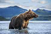 Coastal Brown Bear (Ursus arctos) standing in salmon spawning stream by Kukak Bay, Katmai National Park, Southwest Alaska