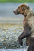 Coastal Brown Bear (Ursus arctos) stands while fishing in salmon spawning stream along Kukak Bay, Katmai National Park, Southwest Alaska