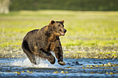Coastal Brown Bear (Ursus arctos) running in salmon spawning stream, Katmai National Park, Southwest Alaska