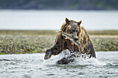 Coastal Brown Bear (Ursus arctos) catches a spawning Pink salmon in stream along Kukak Bay, Katmai National Park, Southwest Alaska